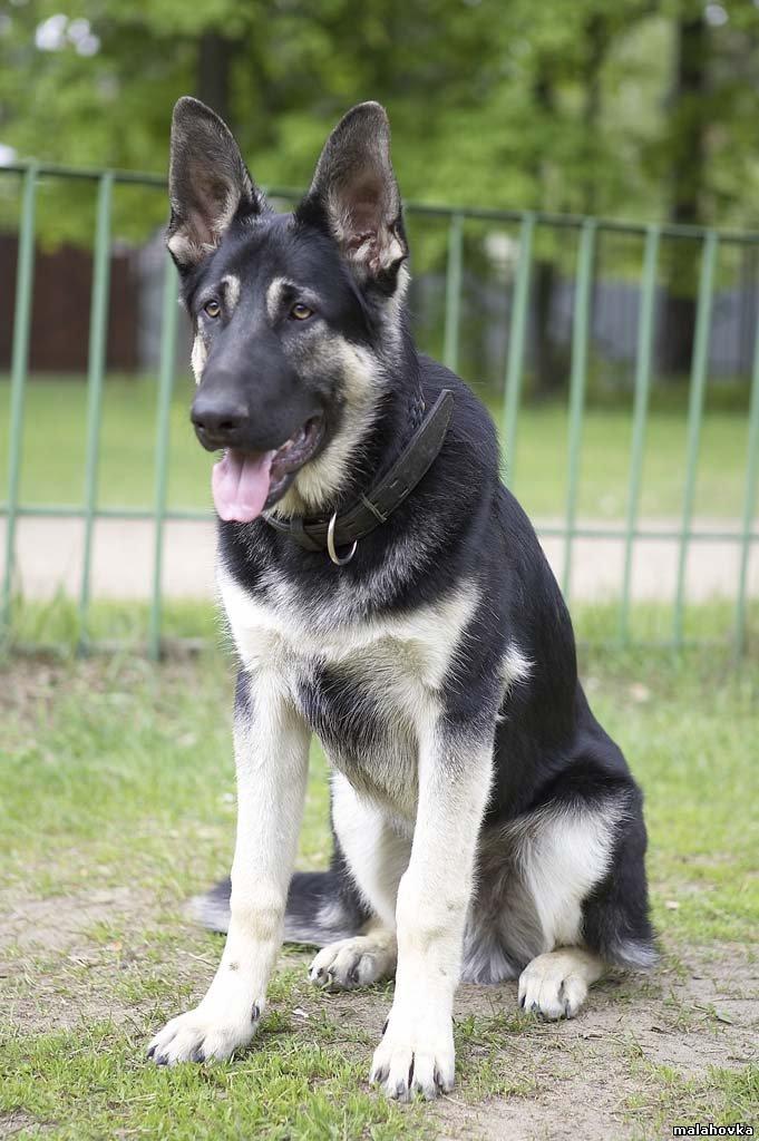 How Big Are East European Shepherd Dogs